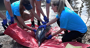 Alabama Marine Mammal Stranding Network rescues pantropical spotted dolphin