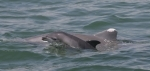 Gulf of Mexico perinatal dolphin deaths likely result of oil exposure