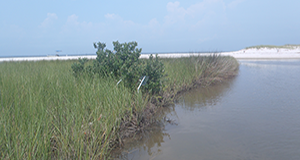 Eating in the salt marsh: Black Mangroves vs. Smooth Cordgrass