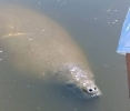 Manatees begin migration to Northern Gulf of Mexico, public encouraged to report sightings