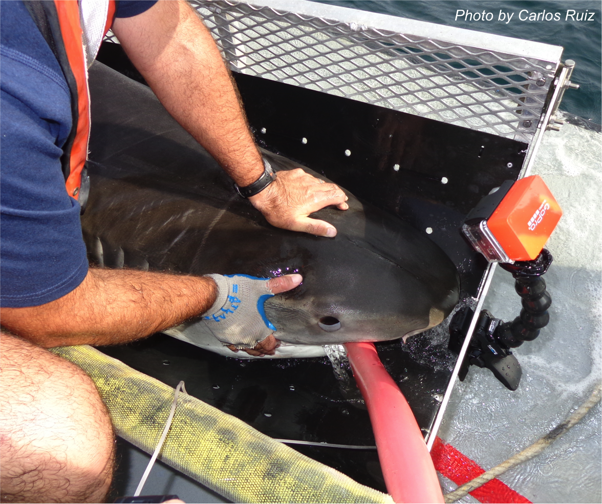 SouthJaw the Shark makes global debut
