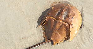 International Horseshoe Crab Day