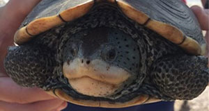 Boardwalk Talk: Diamondback Terrapins: Living in Peril